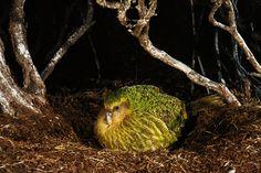 Kakapo Parrot, National Geographic Images, Cod Fish, Image Collection, New Zealand, Birds, Island, Kiwi, Creative