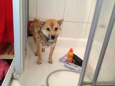 Why are you doing this? Shiba Inu, Pet Collars, Akita, Cute Dogs, Cute Animals, Puppys, Pretty Animals, Cutest Animals, Cute Funny Animals