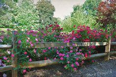 roses & split rail fence