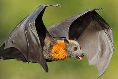 Los murciélagos #animales #murciélago #curiosidades #curiosfera @curio
