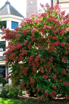 ornamental trees. Seven Sons Tree (Heptacodium miconioides) Full Sun -partial shade, Zone 5-9, Ht: 10-25 feet Loaded with fragrant white flowers in late summer, followed by pinkish-red calyxes in late Oct Growth Rate: fast, best attribute is its persistent, showy, reddish-pink sepals that are quite the show from October through November. Awesome...fall flowers and then followed by October Sepals looking like red flowers all over! Pest resistant