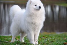 Samoyed - 44 Dogs That Won't Make You Sneeze | PetBreeds