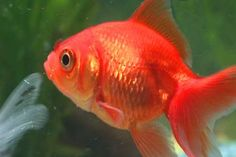 Gold fish : This type of fish is comparatively easy to care as compare to other type of fishes.