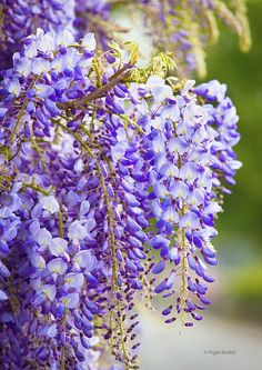 Wisteria sinensis | Flickr - Photo Sharing!