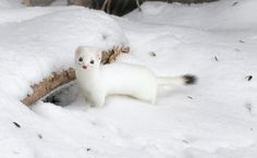 """""""This little Ermine (Short-tailed Weasel) moved in recently. Fun, curious little critter. Cute Baby Animals, Animals And Pets, Nature Animals, White Ferret, Animal Pictures, Cute Pictures, Different Types Of Animals, Cute Ferrets, Wild Spirit"""