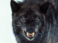 Top 10 Little-Known Facts About Wolves - Listverse