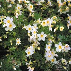 Polemonium: #1st yr bloomer: flowering perennial & June gap; 1 cultivar hardy in zone 2: P. caeruleum; in zones 3-4 are blue-purple, soft lavender blue, violet, and soft pink; sun-part shade w/afternoon shade, dwarf to 2.5', any soil/PH, moist; ferny foliage, flowers late spring-mid summer, bee & butterfly friendly (& ~hummingbirds), cut flower, containers, woodland, deer resistant, *fragrant (*P. reptans & P. 'Northern Lights') ... pictured here P. carneum 'Apricot Delight': Z3, 1.5x1'