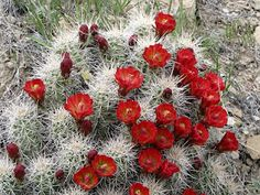Red-flowered Hedgehog Cactus  Caret-cup Cactus  (Echinocereus).  Not only amazing contrast between the cactus & flowers but the photo is awesome!