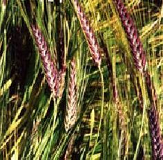 Ornamental Grass Seed Erianthus Strictus Seeds