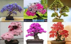 exemplos de bonsai