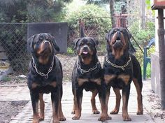 German Rottweiler, American Rottweiler, Roman Rottweiler — can all these labels refer to the same black-and-tan dog? The answer really depends on who you ask. While your Rottweiler cannot talk, you may notice a German accent when he barks, or he may pick up an American accent when living abroad. Sponsored Link American Rottweilers If …