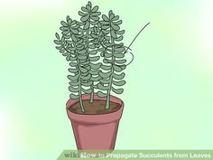Image titled Propagate Succulents from Leaves Step 1