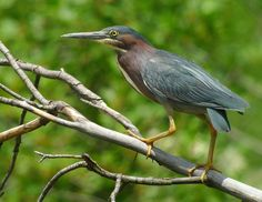 """Green Heron, digiscoped with Leica Televid 82 and Leica D-Lux 5. Green Heron is a stunning summer resident of Ohio's wetlands. A bird with an attitude, it's quite wary and bursts out a """"KALWP...KAWLP KAWLP"""" when alarmed. Shot by Jen Brumfield at North Chagrin Reservation in NE Ohio. https://www.facebook.com/photo.php?fbid=455310621163982=a.361898940505151.101829.355103211184724=1"""