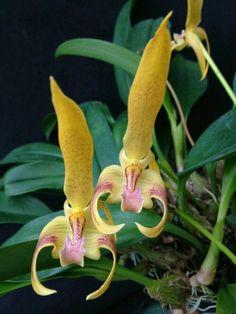 Espécie de orquídea