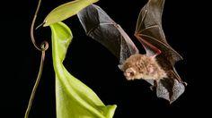 A planta carnívora (Nepenthes hemsleyana) parecida com um Pokémon retira todo o Nitrogênio que precisa do cocô de morcegos.