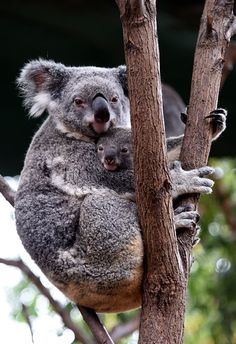 Mommy Koala and Baby Koala Photo by Vania Kam -- National Geographic Your Shot