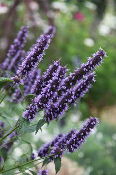 Agastache 'Black Adder' - perennial with purple flowers up to in summer. Couleur Chartreuse, Blackadder, Border Plants, Purple Garden, Garden Care, Purple Flowers, Flower Colour, Plant Care, Gardens