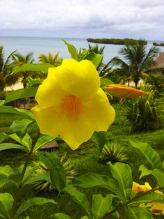 beautiful yellow flower in the #caribbean