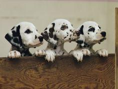 Dalmatian Dog Lovers: Training Your Dalmatian to Listen to You