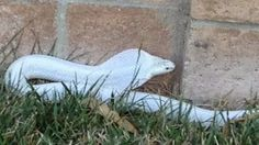 Photo: Captured Albino cobra