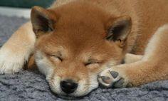 Shiba Inu (I want one!)