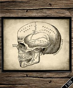 Vintage skull anatomy nervous system by UniquelyGiftedArt on Etsy