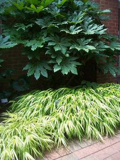 Fatsia Japonica (large plant) and Japanese Forest grass, aka Hakone Grass.  Info on Japanese Aralia or Fasia here: http://davesgarden.com/guides/pf/go/54890/#b