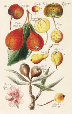 Taf. 25. -- Fruit, Vegetables and Herbs -- RHS Prints
