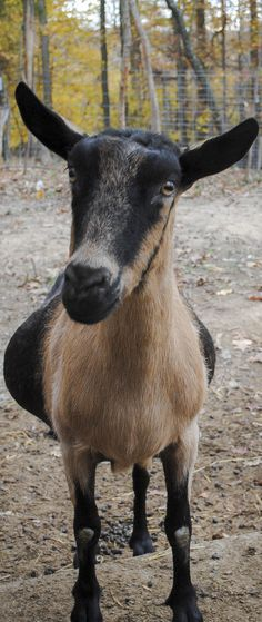 ► There's more to it than you think! How to Manage Goats During Breeding Season. Check it out: http://gmsoap.co/1tX7MKv  #goats #farm