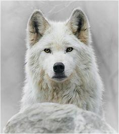 @animalsamazingx on instagram.com [arctic wolf]