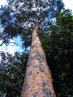 #Scots #Pine in Oakmere Park