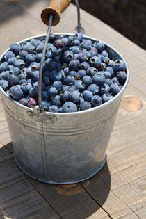 North Carolina Blueberry Picking organic