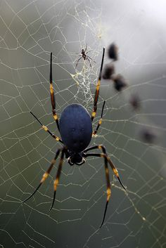 "Parent Trap --Golden Silk Orb-weaver -- An arachnophobic's nightmare. They grow 2"" up to the size of a hand. Golden orb-weavers get their name from the color of silk they use to build their semi-permanent webs.  The webs are huge, some reportedly 18' H X 6' W, and strong as kevlar. The species can be found in Australia, Asia, the Americas and Africa, mostly in warm climates. Only bite if provoked, and even then, venom isn't lethal. (Photographer Christopher Meder) (Macro Photography)"