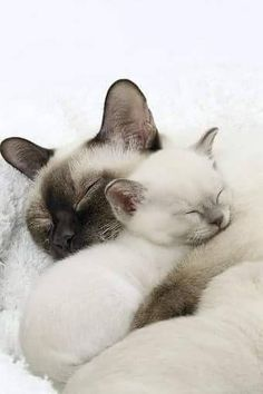 Siamese Cat – Breed Temperament & Health – Siamese of Day - Katzenrassen Beautiful Cats Siamese Kittens, Cute Cats And Kittens, I Love Cats, Crazy Cats, Kittens Cutest, Kittens Playing, Ragdoll Cats, Kittens Meowing, Pretty Cats