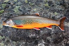 fish. |  RP >  This takes my breath away. Brook trout