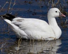 Ross's Goose | Audubon Field Guide