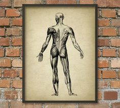 Muscle Man Vintage Anatomy Wall Art Poster #2 - Anatomical Position Of Muscles - Physical Therapy - Physiotherapy - Occupational Therapy