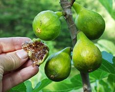 'Desert King,' 'Violette de Bordeaux,' ' White Marseilles' (sometimes sold as 'Lattarula'), 'Conadria' and 'Osborne Prolific' with expectations that they will mature.  Coming soon: 'Olympian,' a newly discovered fig variety that survives, and even thrives, in Washington state's arctic environs.