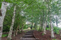 The Silver Birch walk. The steps are made from the trunks of old tree ferns. Was really amazing to see. At Kaydale Gardens, Tasmania