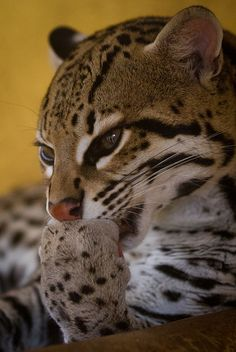 Ocelot by JasonBrownPhotography on Flickr. OMG I WANT ONE!!!!!!!!!!!!!!!!!!!!!!!!!!!!!!!!!!!!!!!!!!!!!!!!!!!!!!!!!!!!!!!!!!!!!!!!!!!!!!!!!!!!!!!!!!!!!!!!!!!!!!!!!!!!!!!!!!!!!!!!!!!!!!!!!!!!!!!!!!!!!!!!!!!!!