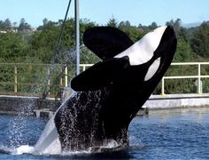 """Keiko, the famous killer whale star of the """"Free Willy"""" movies, leaps through the air in his Oregon Coast Aquarium tank in Newport, Ore. He later died of pneumonia off the coast of Norway."""