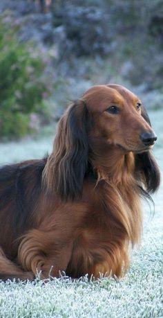 Beautiful long haired Dachshund