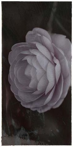 """Flowers in Neutral Moment-2015 """"Camellia Japonica"""" Archival pigment print Printed on cotton rag fine art paper Photo by Soichi Oshika"""