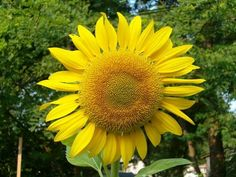 Sunflowers: How to Plant, Grow, and Care for Sunflower Plants...can even plant new seeds in July!