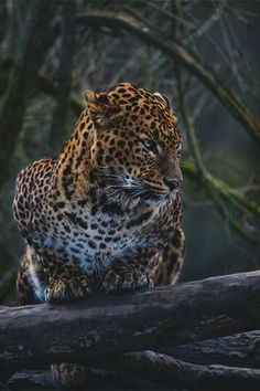 Jaguar by Corentin Foucaut For see more of fitness Freaks visit us on our website ! Jaguar, Nature Animals, Animals And Pets, Cute Animals, Beautiful Cats, Animals Beautiful, Beautiful Things, Beautiful Pictures, Gato Grande