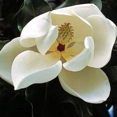 Magnolia François Treyve