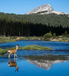Mule Deer, Early Morning, Tuolumne Meadows, California California National Parks, California Travel, Sequoia National Park, National Forest, Beautiful Scenery, Beautiful Places, Big Basin Redwoods, Tuolumne Meadows, Sea To Shining Sea