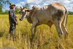 Bauer mit Kuh in Kambodscha © Volker Abels - www.foto-reiseberichte.com