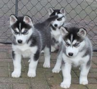 Adorables chiots husky de siberien 500