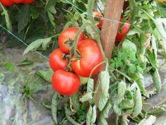 Tehnologie de cultura a tomatelor sau cultivarea rosiilor Stuffed Peppers, Vegetables, Horticulture, Plant, Stuffed Pepper, Vegetable Recipes, Stuffed Sweet Peppers, Veggies